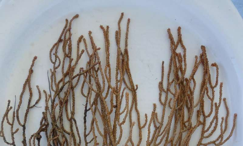 New deep-water coral discovered