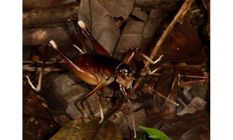 New king cricket species discovery in Costa  Rica