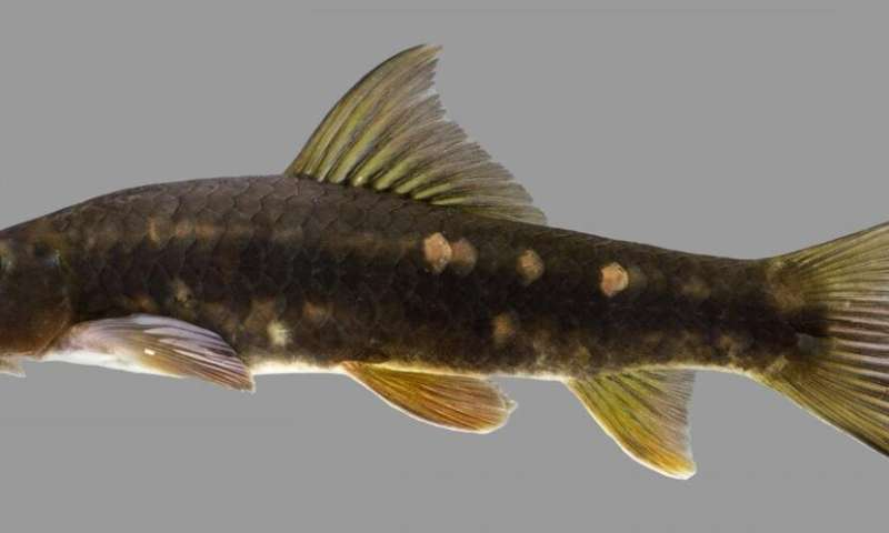 New 'netherworldly' freshwater fish named for Thai conservation visionary