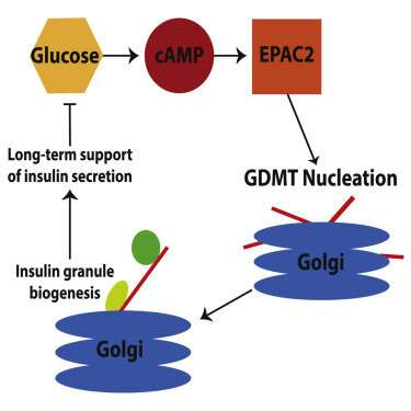 New role for microtubules in diabetes