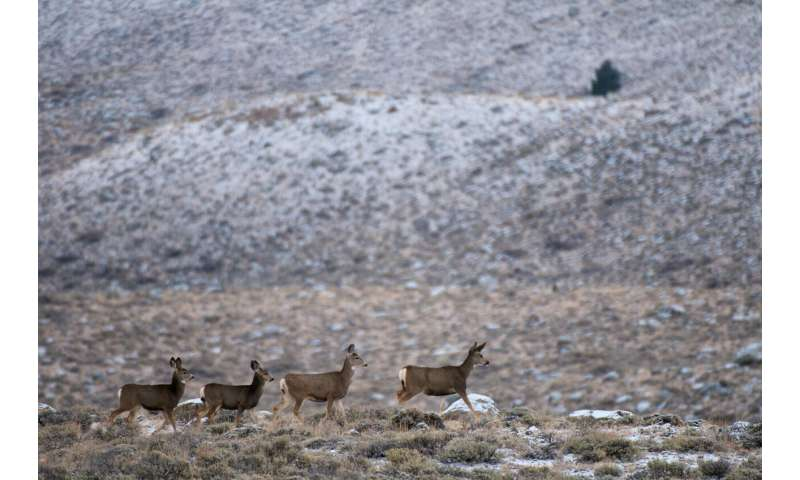 New study: Migrating mule deer don't need directions