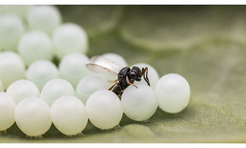 Non-native pest-controlling wasp identified in Canada prior to formal approval