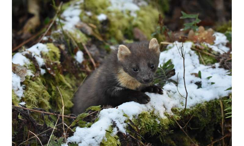 Northern Ireland's recovering pine marten population benefits red squirrels