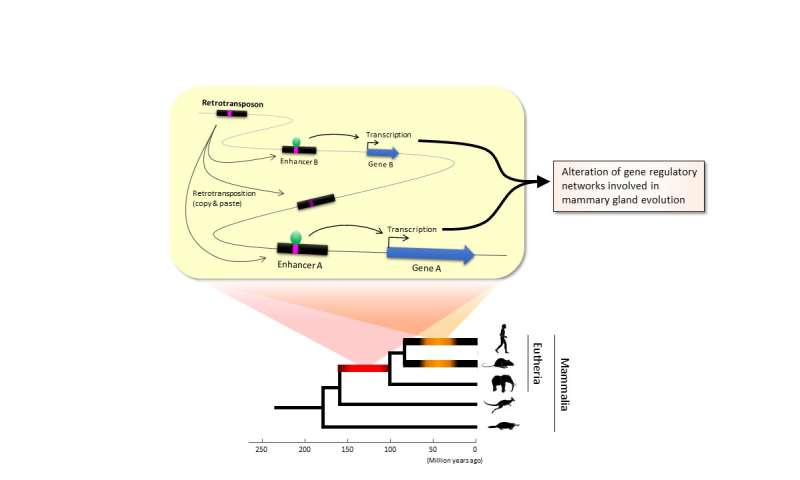 Not so selfish after all--Key role of transposable elements in mammalian evolution