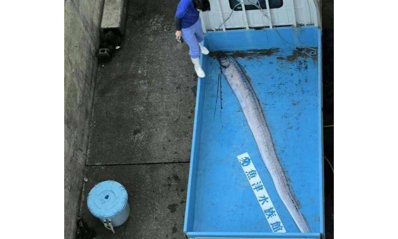 Oarfish live between 200 and 1,000 metres below the surface of the Pacific and the Indian Oceans and their serpentine bodies wit