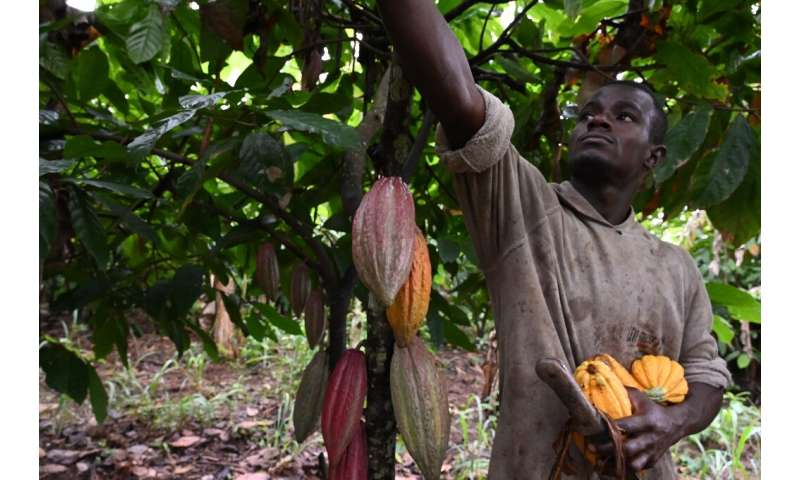 October cocoa harvest time for a farmer in central Ivory Coast