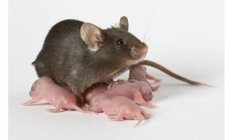 Of mice and babies: New animal model links blood transfusions to dangerous digestive disease in pree