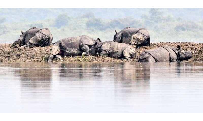 One-horned rhinoceros bask on a bank in flood-hit Kaziranga National Park in India's Assam state