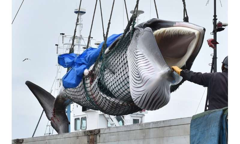 One of three species Japan has targeted in resuming commercial whaling is threatened with extinction, and sub-populations of the