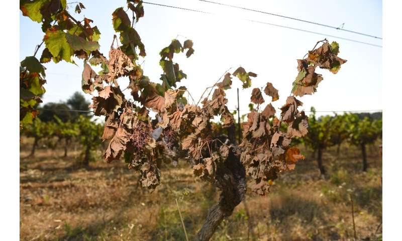 On June 28, the hottest day of the heatwave that engulfed parts of France, Spain, Italy and Germany, vines in the Herault and ne