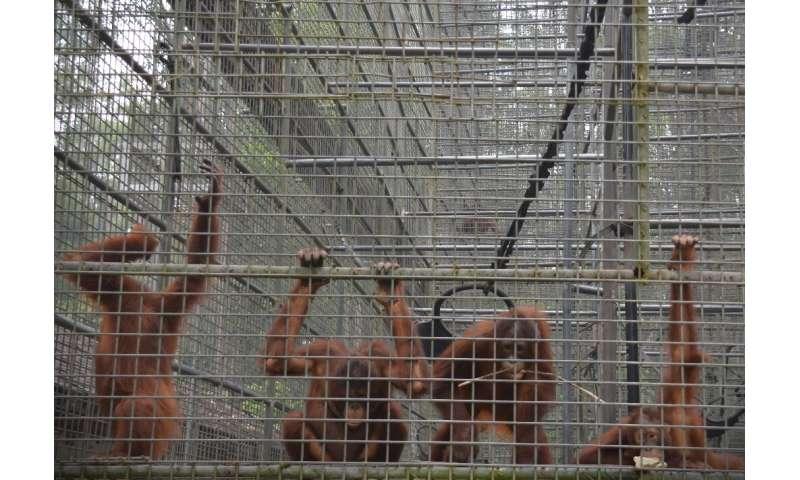 Orangutans at a rehabilitation centre in Nyaru Menten, central Kalimantan are showing signs of respiratory illness as a result o