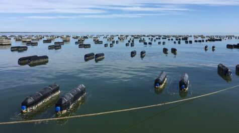 Oyster aquaculture has small but positive impact on Chesapeake Bay water quality