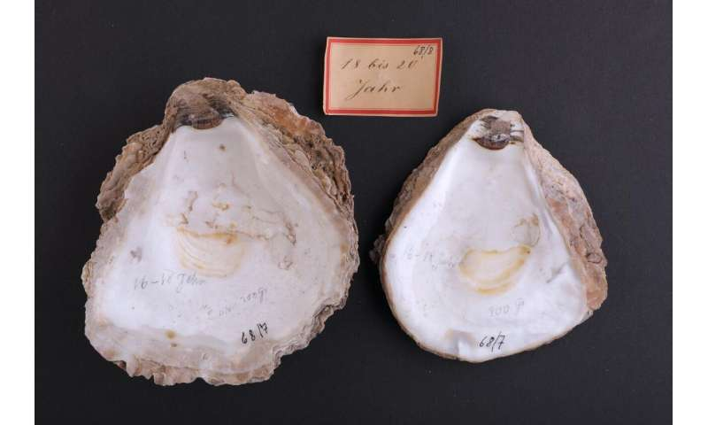 Oyster deaths: American slipper limpet is innocent