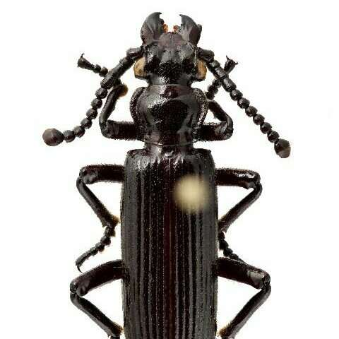 Ozaena ground beetles likely parasitize ants throughout their life cycle