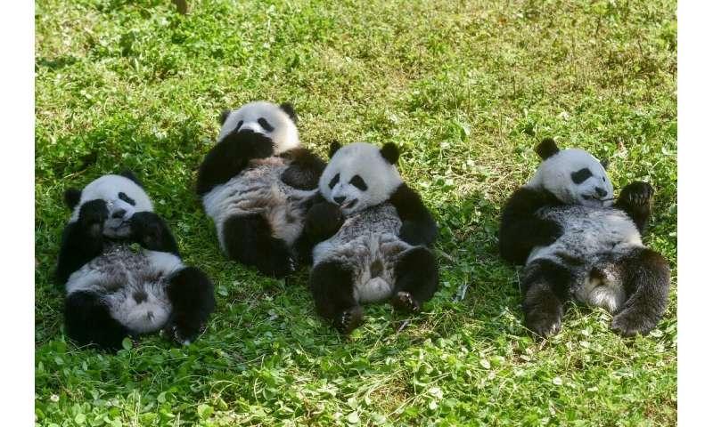 Panda cubs eat in the Shenshuping panda base of the Wolong National Nature Reserve in Wenchuan, China's southwestern Sichuan pro