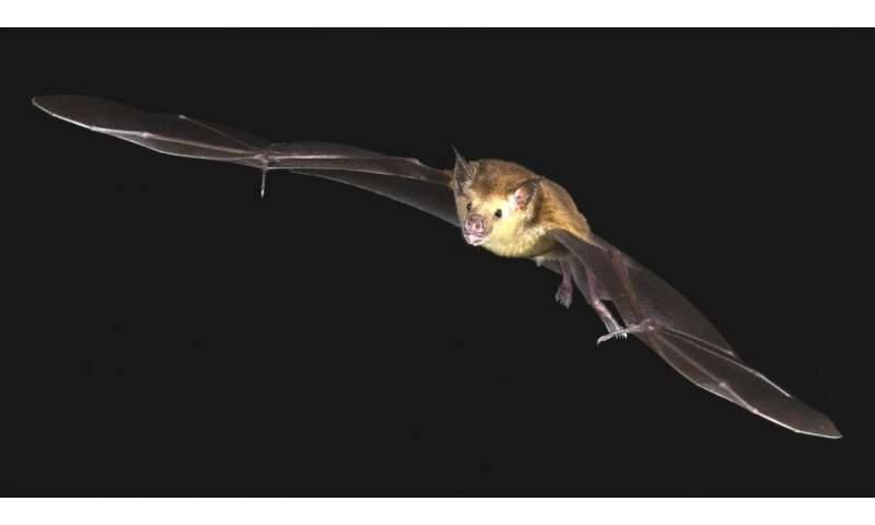 Parasitic bat flies offer window into lives of hosts