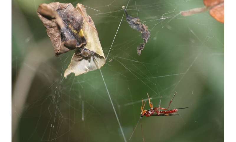 Parasitoid wasps may turn spiders into zombies by hacking their internal code