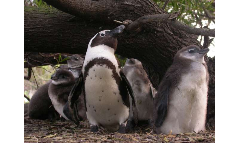 Penguins and their chicks' responses to local fish numbers informs marine conservation