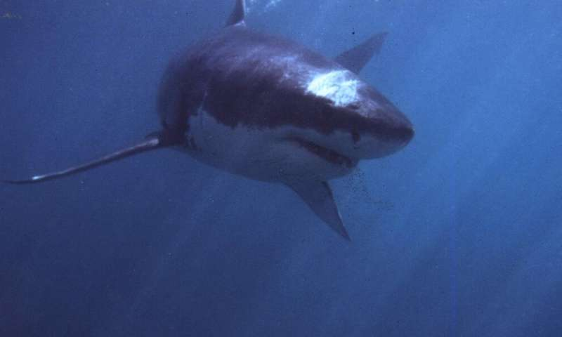 "People think of the blockbuster ""Jaws"" film when they see great white sharks"