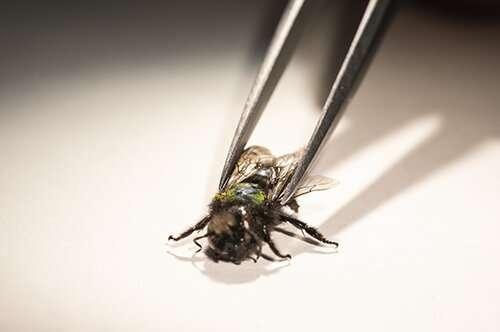 Pesticides influence ground-nesting bee development and longevity