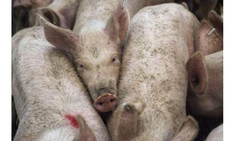pig industry
