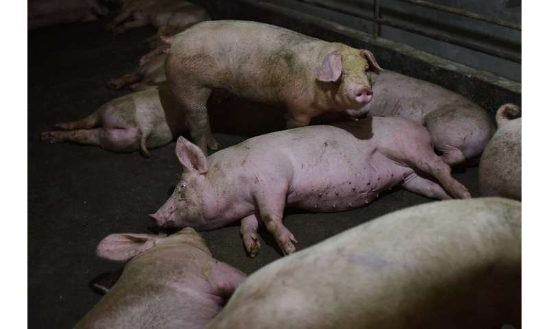 Pigs at a farm in China's central Henan province