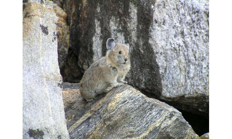 Pika survival rates dry up with low moisture