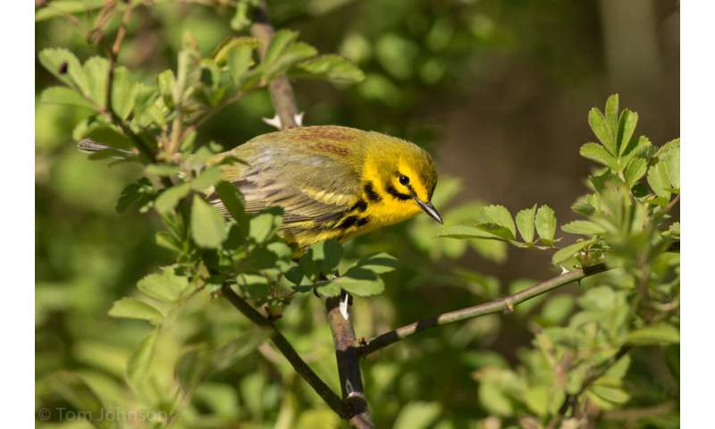 Pine woodland restoration creates haven for birds in Midwest, MU study finds