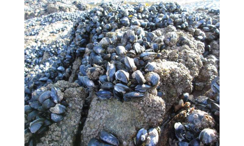 Plastic pollution causes mussels to lose grip