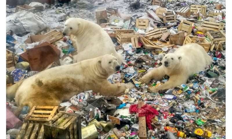 Russia S Arctic Plans Add To Polar Bears Climate Woes