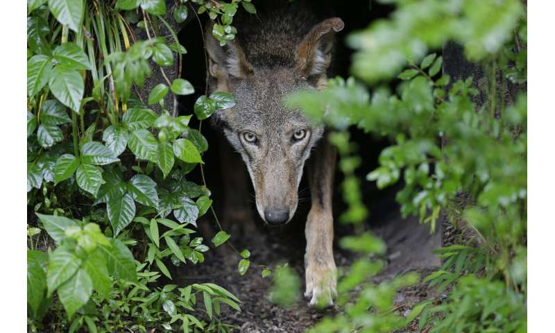 Politics, killings stifle wolf recovery amid hefty price tag
