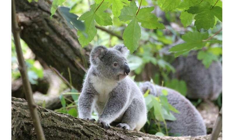 Poo transplants to help save koalas
