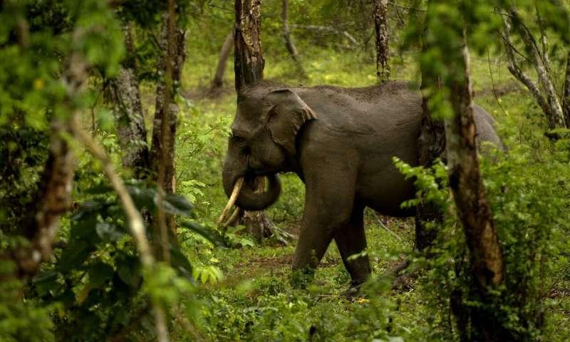 Positive steps for Asian elephants facing skinning threat