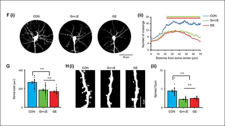 Prefrontal cortex development and mental illness