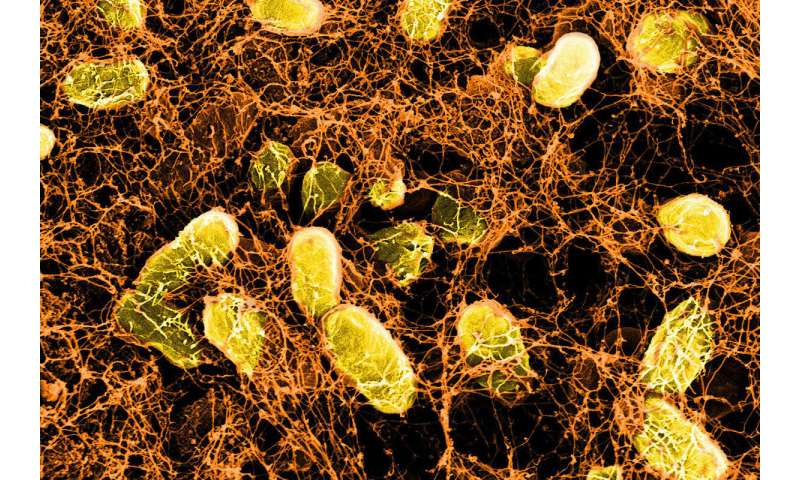 Probiotic hydrogels heal gut wounds other bandages can't reach