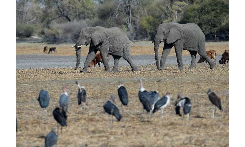 Protection row: Botswana has introduced new rules enabling elephants to be hunted legally