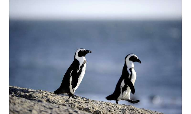 Rangers have been rescuing African penguins, like those seen here, in the shallow waters off the South African coast
