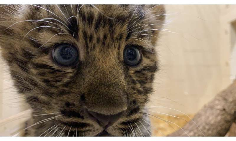 Rare Amur leopard cubs go on view at zoo; no names yet