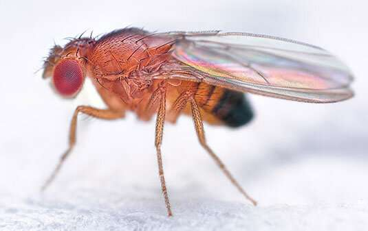 Recipe for making a fruitfly
