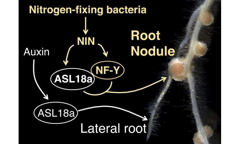 Recrutement of a lateral root developmental pathway into root nodule formation of legumes
