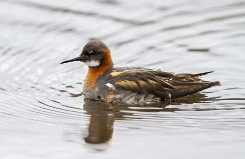 Red-neck phalarope: a migratory divide towards the Pacific Ocean and the Arabian Sea