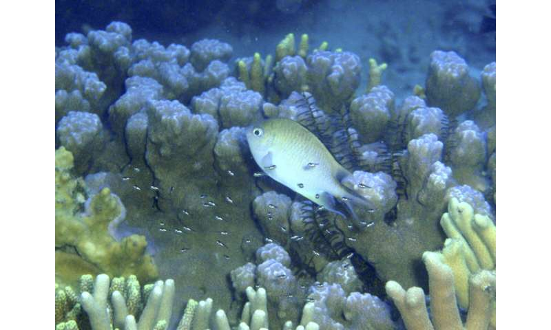 Reef fish caring for their young are taken advantage of by other fish