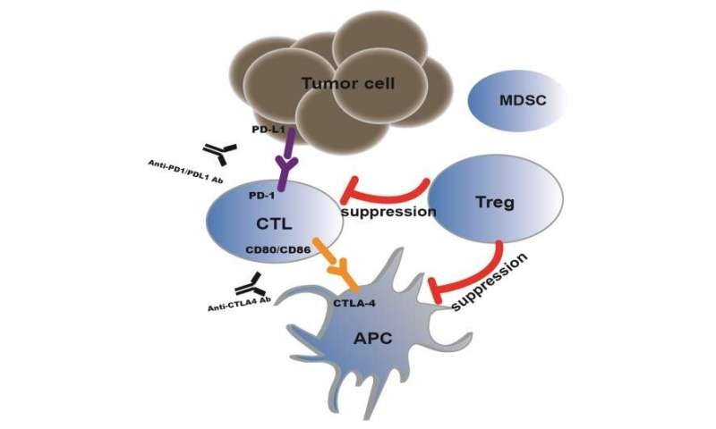 Regulation and potential drug targets of tumor-associated Tregs