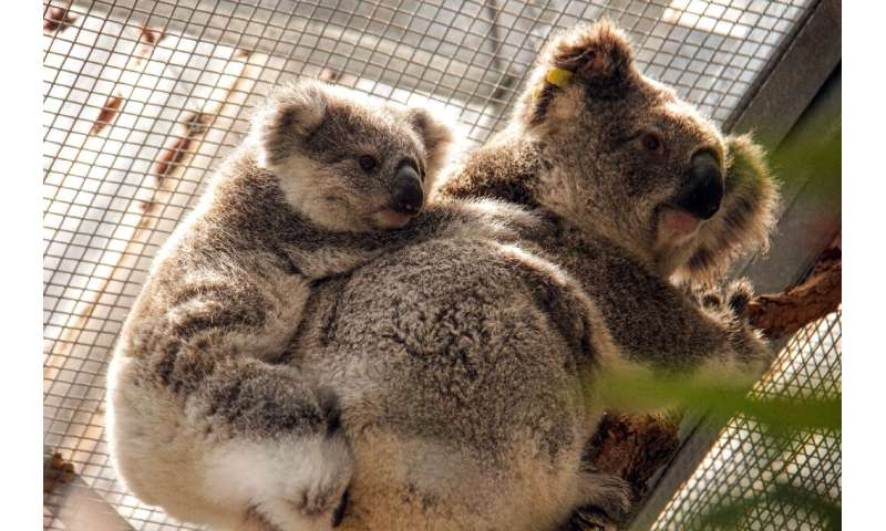 Rescuers scaled trees this week to retrieve three adult males, five adult females and four joeys