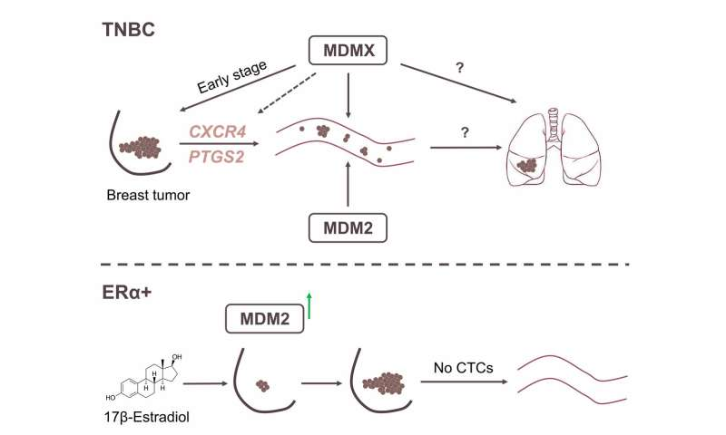 Researchers link overexpression of MDMX protein to metastasis of 3X negative breast cancer