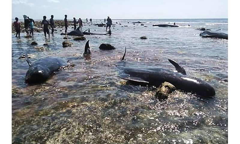 Residents managed to save ten whales, all roughly three to four metres long,  stranded on an eastern Indonesian beach