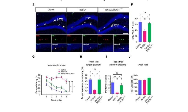 **Restoring a gene altered in Down syndrome rescues adult neurogenesis and learning and memory defects in mice
