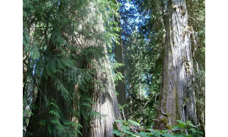 Rethinking old-growth forests using lichens as an indicator of conservation value
