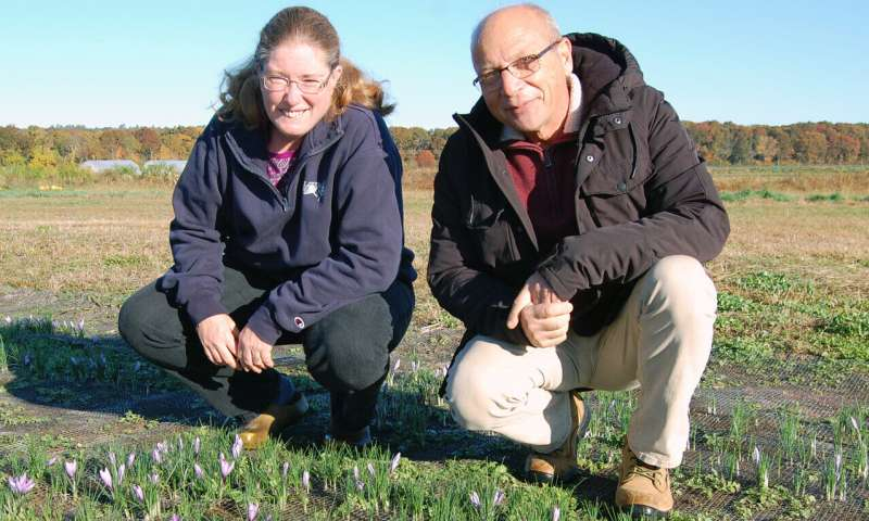 Rhode Island conditions excellent for growing world's most expensive spice: researchers