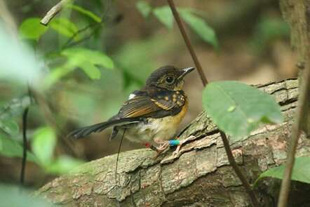 Road proximity may boost songbird nest success in tropics